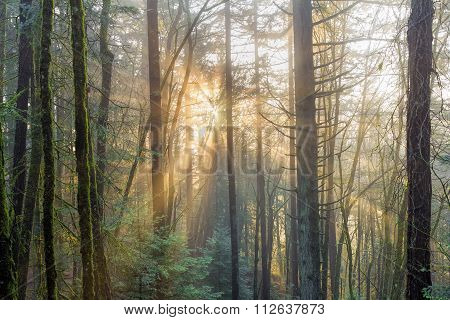 Sun Rays Through The Mist In The Forest
