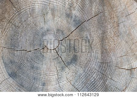 Tree trunk cross section with annual rings