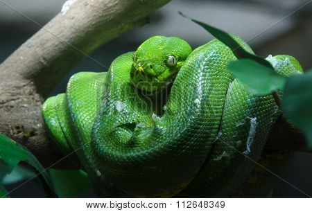 Green tree python in the zoo