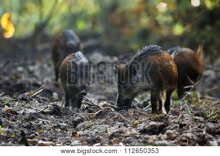 Wild boars in the forest