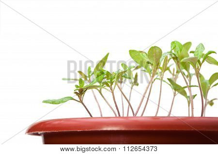 Macro Of Tomato Seedlings
