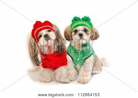 Two Beautiful Shih-tzu Puppies Smiling In Winter Clothes