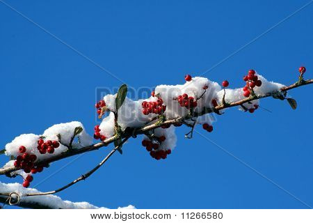 Red Berries On A Snow Covered Branch.