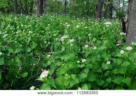 Garlic Mustard Plants