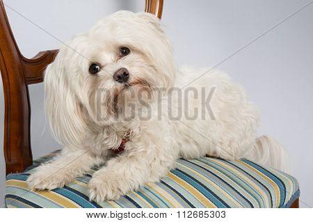 Malteser Dog Sitting On A Wooden Chair - Studio Shot