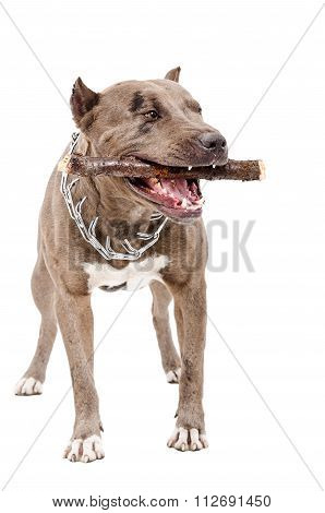 Pit bull gnaws the stick