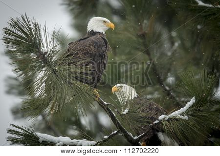 Two Eagles On A Snowy Day.