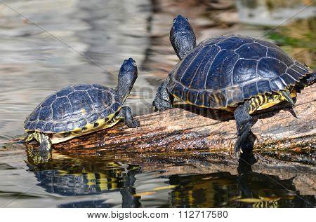 Water turtles sunbathing
