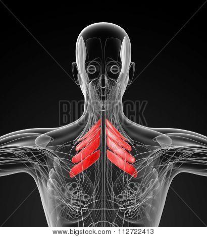 Medical  Illustration Of The Serratus Posterior Superior