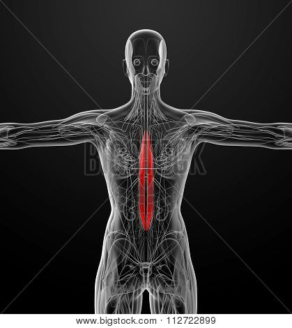Medical  Illustration Of The Spinalis Dorsi