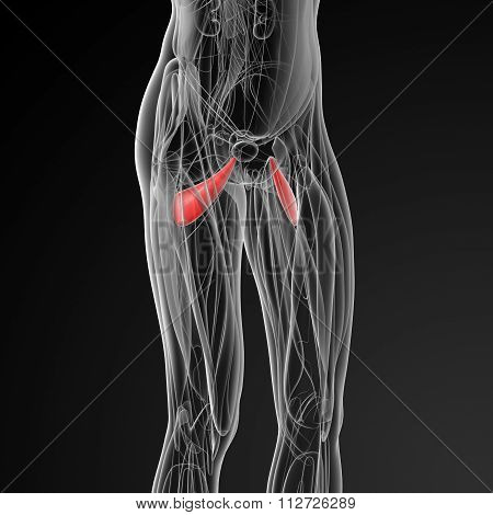 medical illustration of the abductor brevis