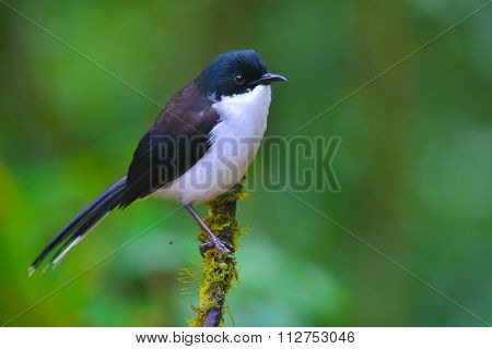 Dark-backed Sibia Bird