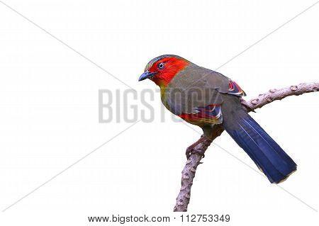 Scarlet-faced Liocichla Bird