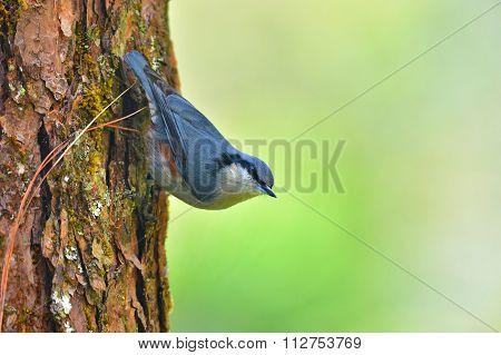Chestnut-vented Nuthatch Bird