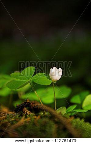 Common Wood Sorrel (oxalis Acetosella)