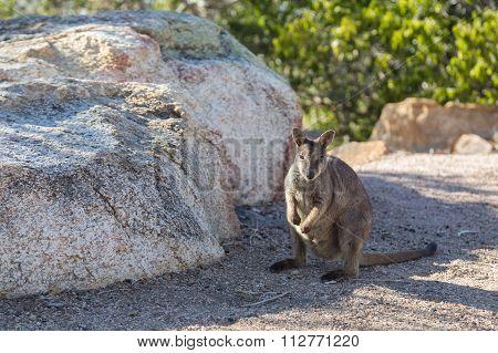 Rock wallaby in Australia