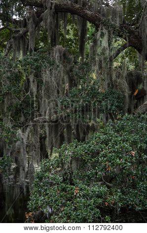 Spanish Moss Thick On Live Oak Tree