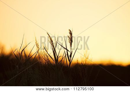 Reeds Silhouetted Against Morning Sky