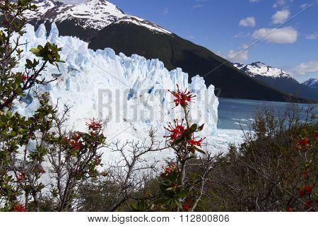 Fire Bush At Perito Moreno Glacier, Los Glaciares National Park, Argentina