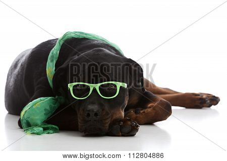 St Patrick's Day Rottie