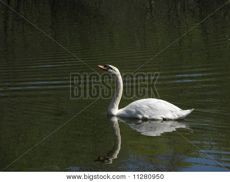 White swan on forest lake