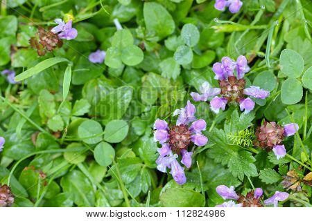 Top view of Self-heal plant, known as Heal All and its purple flower (Prunella vulgaris) with morning dew