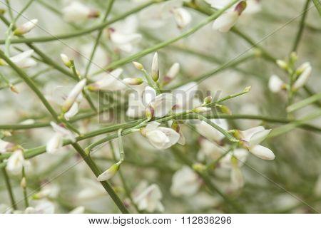 Retama rhodorhizoides bridal veil broom endemic to Canary Islands natural floral background poster