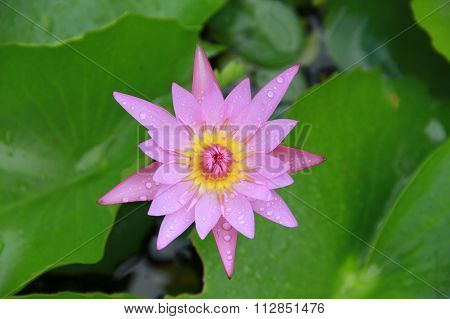 Pink Lotus Flower Top View In The Pool Has Some Drop Water On The Petal, Symbol Of Purity.