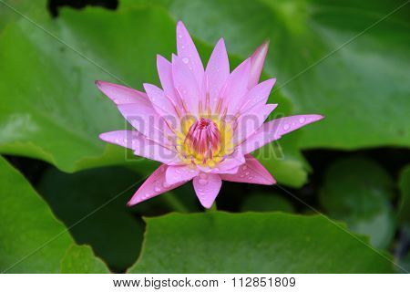 Pink Lotus Flower Top Side View In The Pool Has Some Drop Water On The Petal, Symbol Of Purity.