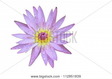 Purple Lotus Flower Top View Has Some Drop Water On The Petal, Isolated On White Background.