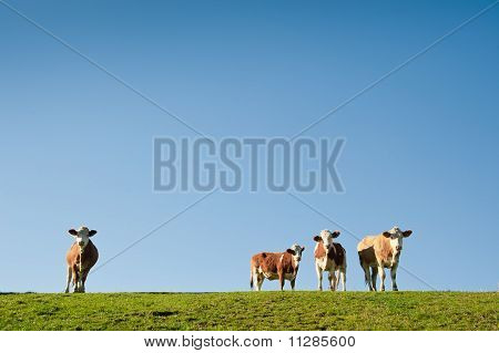 Cows with Blue Sky