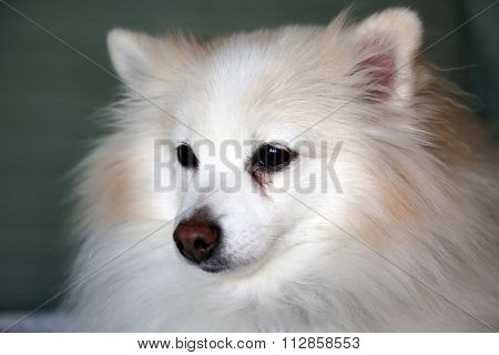 A beautiful Head Shot or Beauty Shot of a Pure Breed Pomeranian Dog. Pomeranian dogs are loved by people around the world for their Beauty and Sweet Loving Personalities. Poms are great dogs.