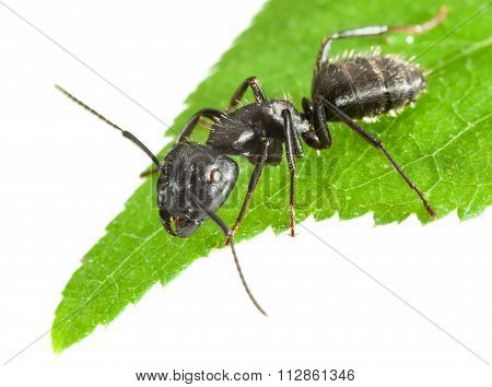 Ant On Leaf Tip