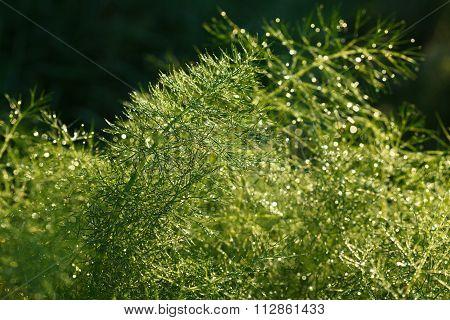Closeup Of Asparagus In Morning Garden