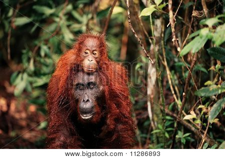 The Orangutan With A Cub On A Back.