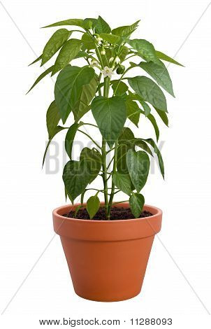 Pepper Plant isolated on white