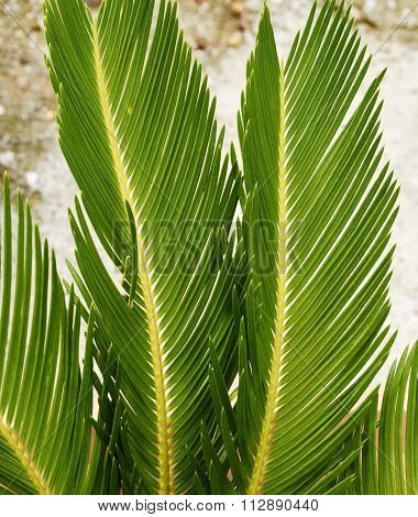 Particularly Of Palm Leaves Cycads Ornamental Plant