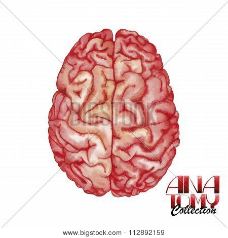 Anatomy collection - brain