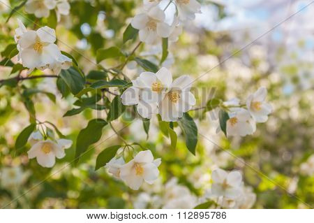 A Branch Of Flowering Jasmine