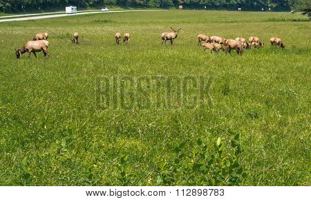 Group Of Elks Graze In Great Smoky National Park