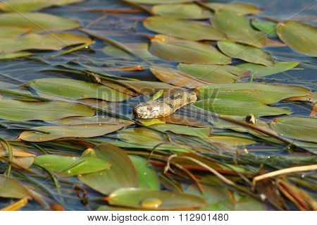 Dice Snake Hiding Amongst Water Lilies