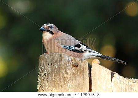 European Common Jay On Wood Stump