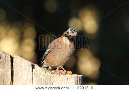 European Jay Looking At The Camera