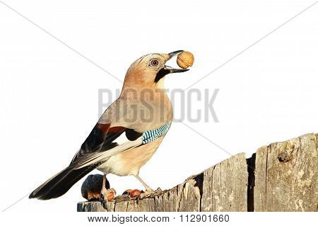 Isolated European Jay With Nut