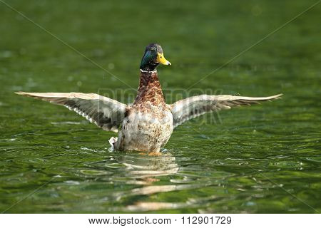 Male Mallard Flipping Wings