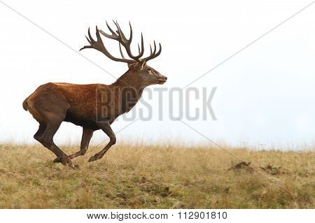 Red Deer Buck Running On Clearing