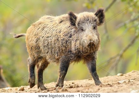 Wild Boar In Glade