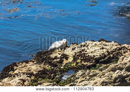 Seal hauled out on rock, Monterey, California