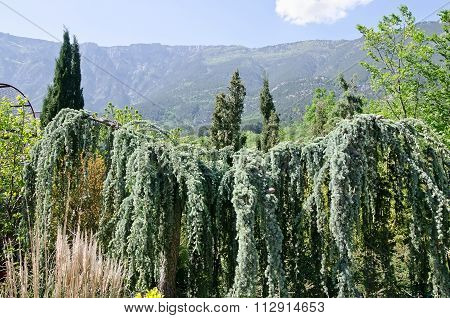 Wall Consisting Of Pine Branches - Weeping Atlas Cedar Ppe
