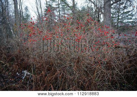 Highbush Cranberry Bush